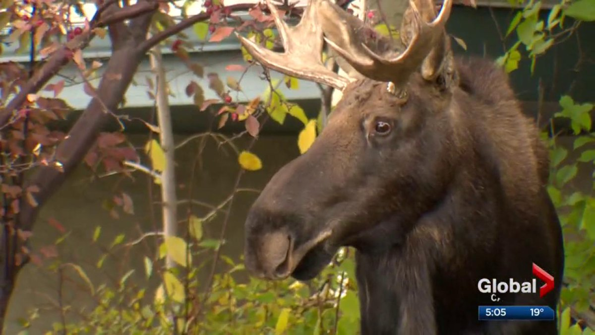 A moose temporarily blocked a Calgary couple from voting. #yycvote htt...
