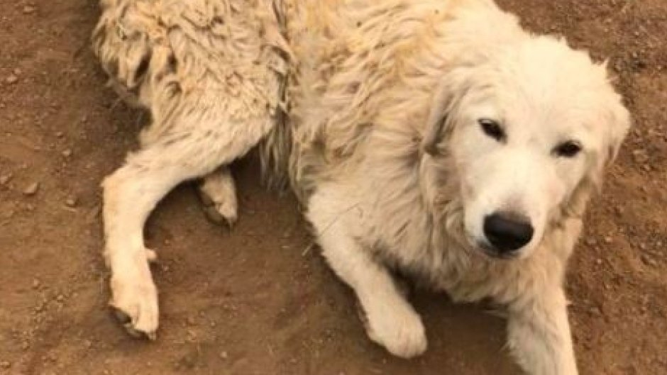 Odin the brave sheep dog survives #CaliforniaWildfires after refusing to abandon his goats https://t.co/U2McKijlbI