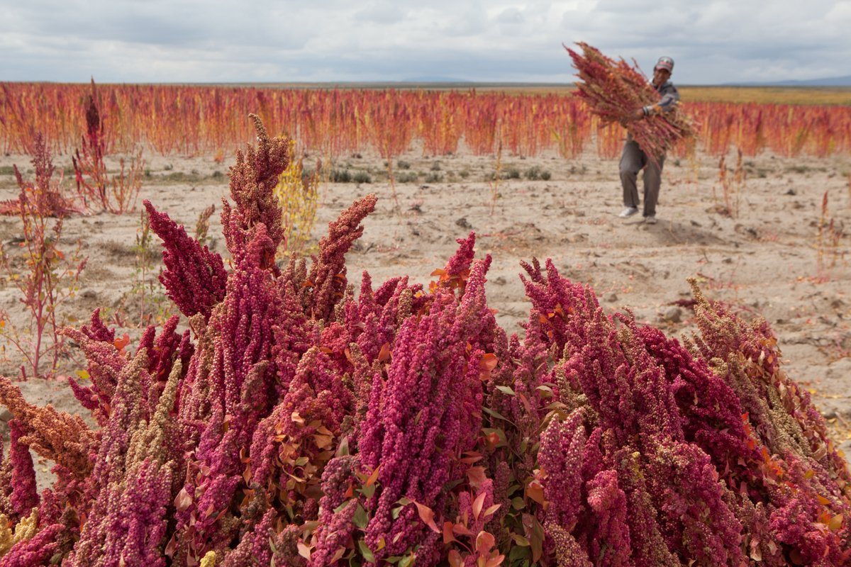 The harvesting of Bolivia's 'superfood',...