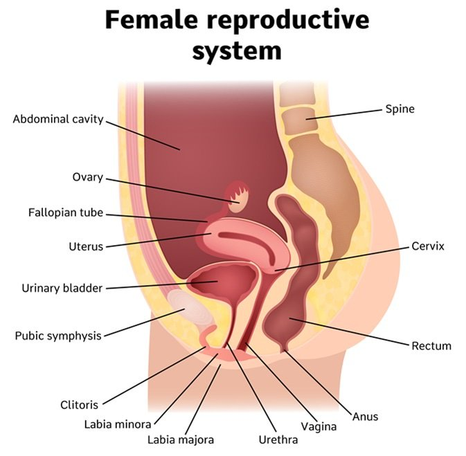 labia : latest news, breaking news headlines | scoopnest outer body diagram female ureter diagram female