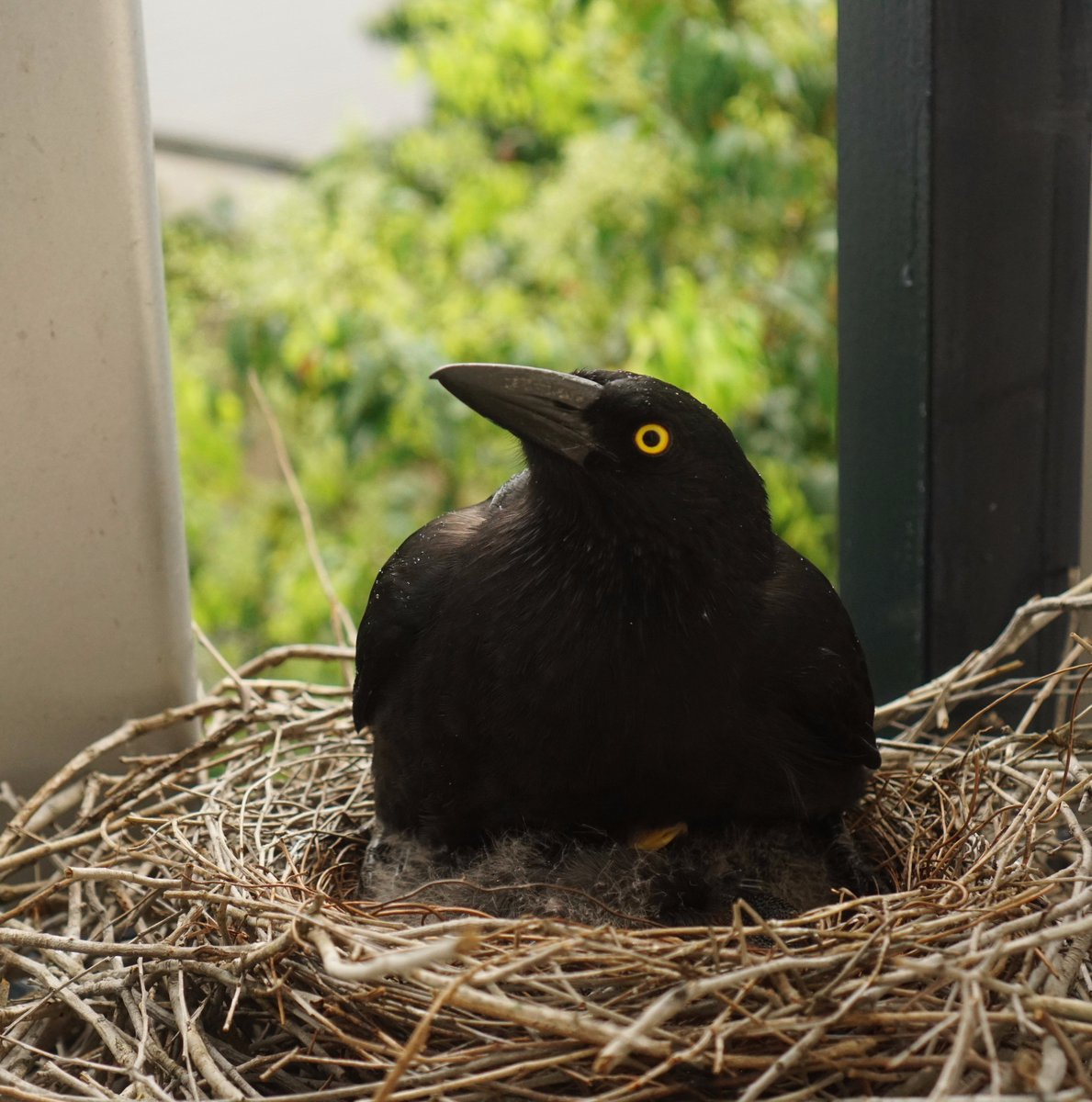 I think Charlotte Currawong may be having some difficulty staying on top of the chicks. #labcurrawong #uq #uqwildlife<br>http://pic.twitter.com/QnSMUEH82y