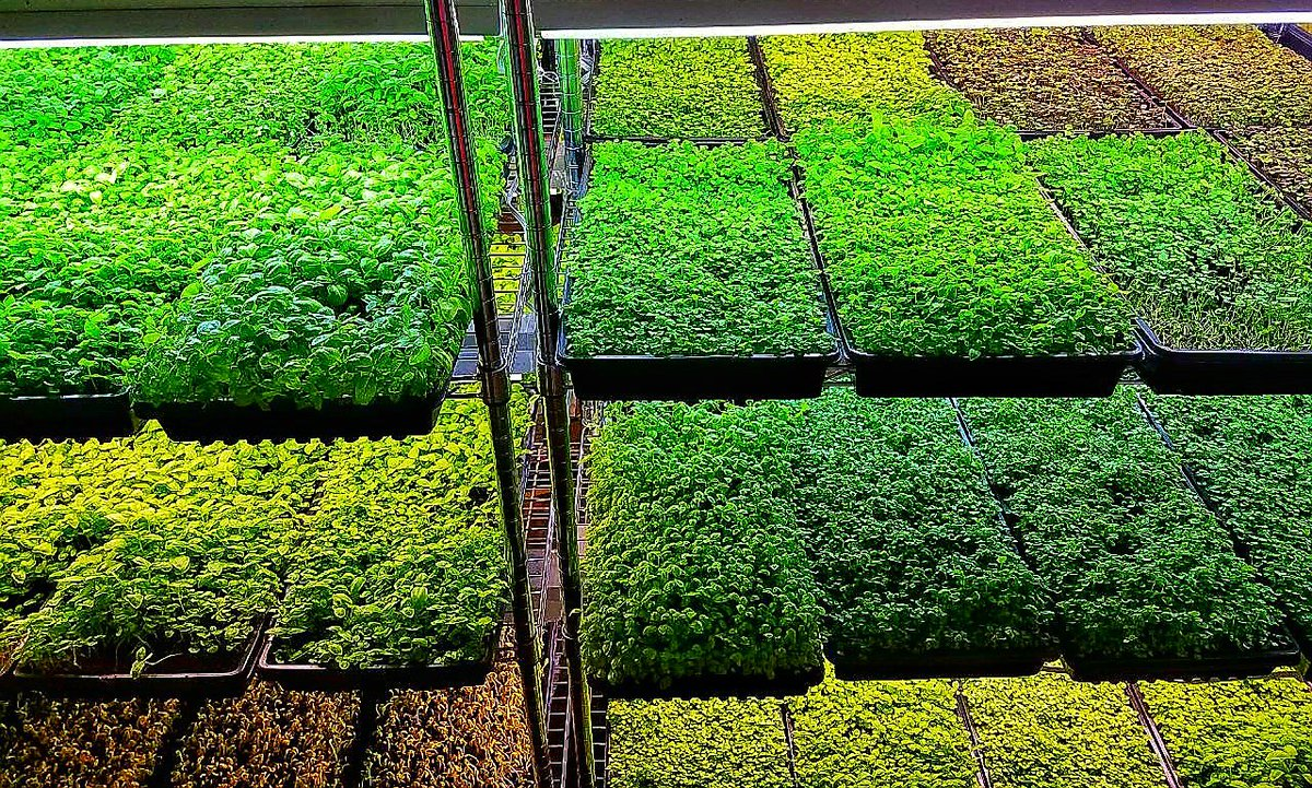 #microgreens for days! #foodie #healthy #beautiful #color #nutrition #cleaneating #healthyeating #gastronomy #cuisine #food #urbanfarming<br>http://pic.twitter.com/ISiKjSw5ip