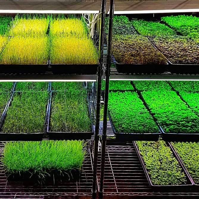 More #microgreens #foodie #nutrition #organic #nongmo #healthyfood #HealthyEating #cleaneating #urbanfarming #gastronomy #cuisine #beautiful<br>http://pic.twitter.com/9fhHXBl5Sz
