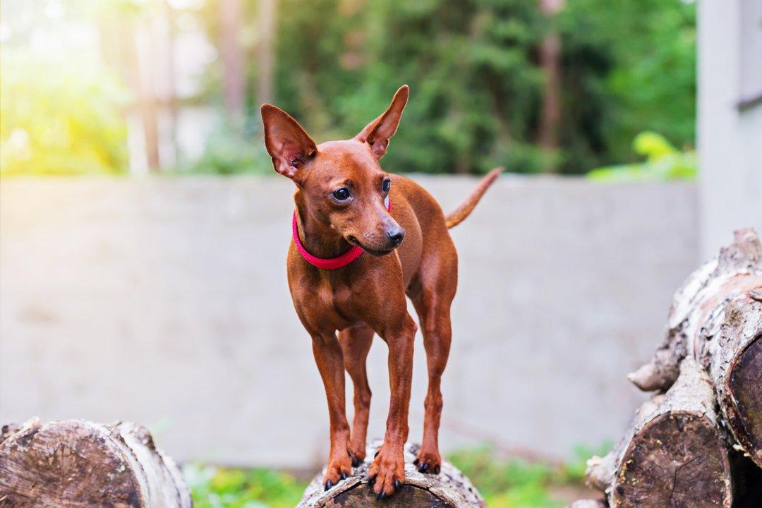 Red miniature pinscher dog  #pinscher #dog #miniature #miniaturepinscher #red #pet #puppy #purebred #animal…  https:// anna-maloverjan.pixels.com/featured/portr ait-of-red-miniature-pinscher-dog-anna-maloverjan.html &nbsp; … <br>http://pic.twitter.com/jYuuebOWZO