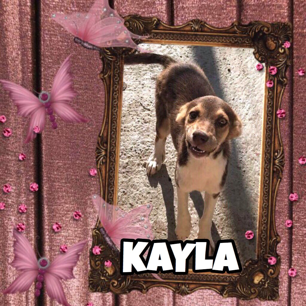 Kayla 4m needs a furever home. This pretty girl was pulled from a kill shelter &amp; now needs a safe haven #AdoptMe #Rescuedogs #doglovers #pet <br>http://pic.twitter.com/efmk3gmuvA