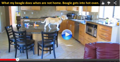 What my beagle does when we are not home. Beagle gets into hot oven https://t.co/xLn5vCcb6N Whilst moth #video 5