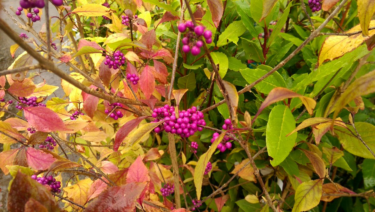 The wonderful Callicarpa shrub to add to your #fruit #collage @dale_dixon   Taken on mobile phone.<br>http://pic.twitter.com/cnZcJZ1yvM