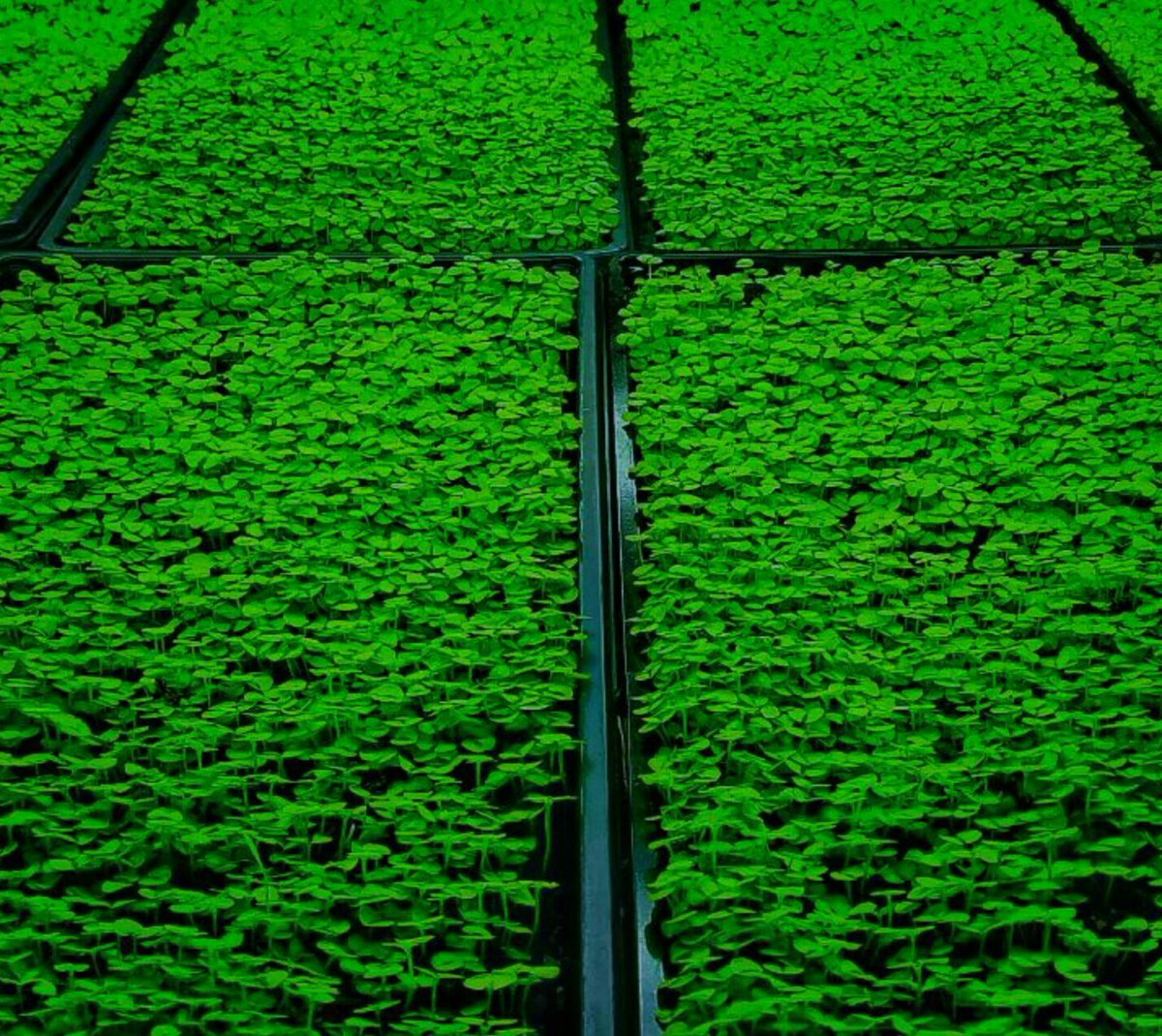 ICO #WorldClass #microgreen  Basil. Makes the best pesto ever. #foodie #gastronomy #cuisine #nutrition #cleaneating #nongmo #organic #vegan<br>http://pic.twitter.com/qKesZSYphA