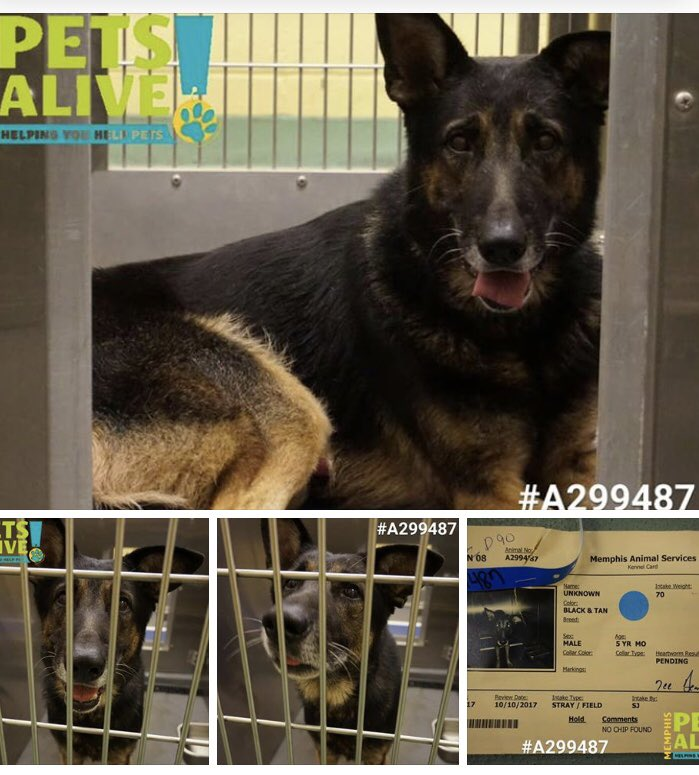 #TN #MEMPHIS  CRITICAL Gorgeous 5yo Male #GSD longing to be loved &amp; safe! Pls #ADOPT #RESCUE #FOSTER HELP!   https://www. facebook.com/MemphisAnimalC onnection/posts/1983974205224123 &nbsp; …  <br>http://pic.twitter.com/cwGbX8bPOH