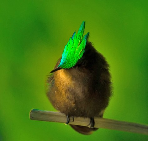 Antillean crested hummingbird (Orthorhyncus cristatus) #painting #art<br>http://pic.twitter.com/KmQeHJ6mVu