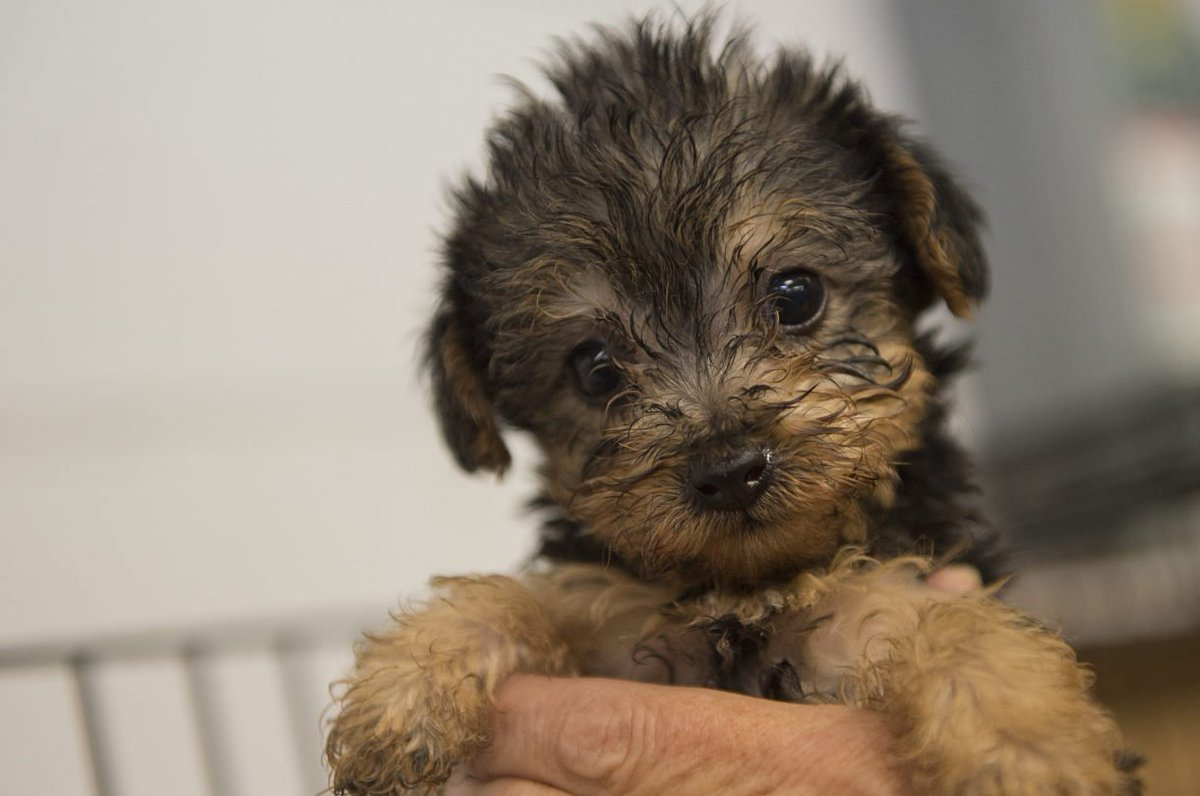 Good news! @JerryBrownGov makes #California the 1st state to ban #puppymill sales at pet stores:  http:// bit.ly/2geLhzU  &nbsp;  <br>http://pic.twitter.com/FzLOd8jQEs