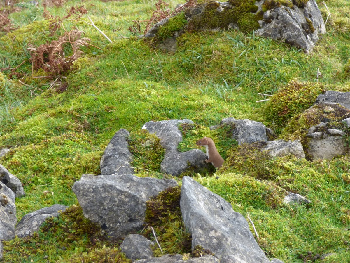 #stoat @pennine_way #Swaledale #yorkshiredales You meet all sorts of folks @NationalTrails. This little chap was v friendly! @Welcome2Yorks<br>http://pic.twitter.com/a1CWm7MEuQ