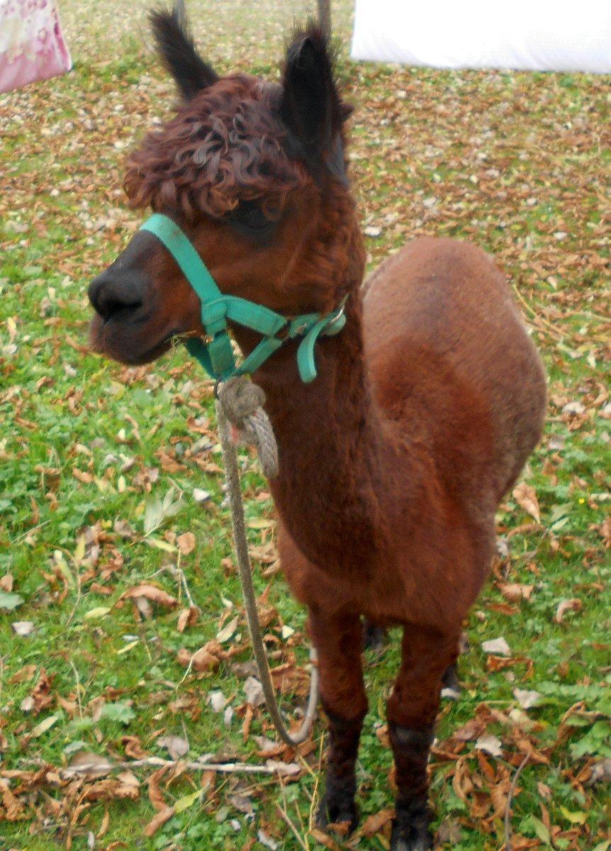 III. Alpacas#alpacastoday #hamburg <br>http://pic.twitter.com/8TXLqkelrK