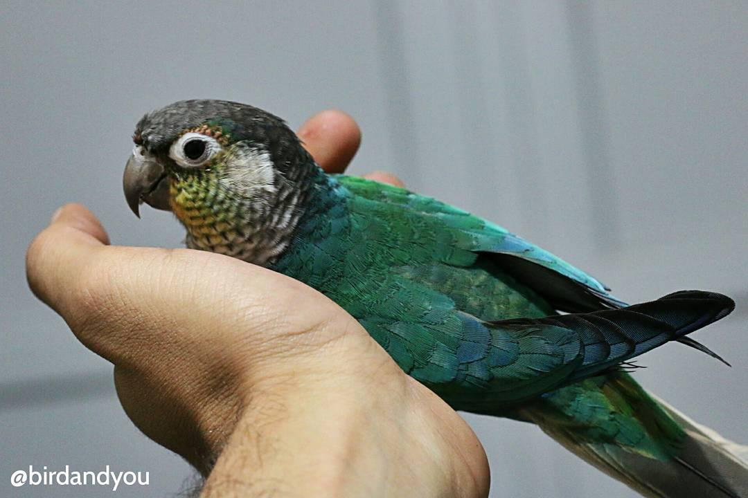Younes Bird And You On Twitter T O Se Sent Bien Dans Le Creux De La Pyrrhura Molinae Perruche Perroquet Parakeet Parrot Greencheekconure Oiseaux Oiseau Bird Https T Co Bgl1fqwvva