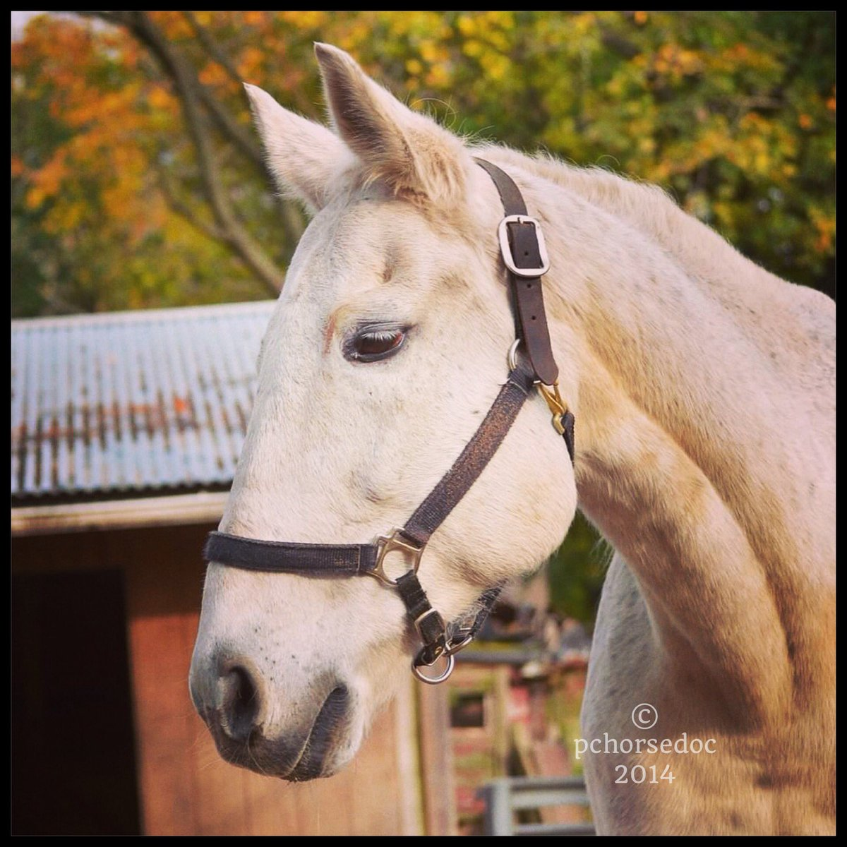 autumn #equine RiP this sweet old guy who had almost a decade of loving retirement #ottb from #OK <br>http://pic.twitter.com/B7v7gGSvmO