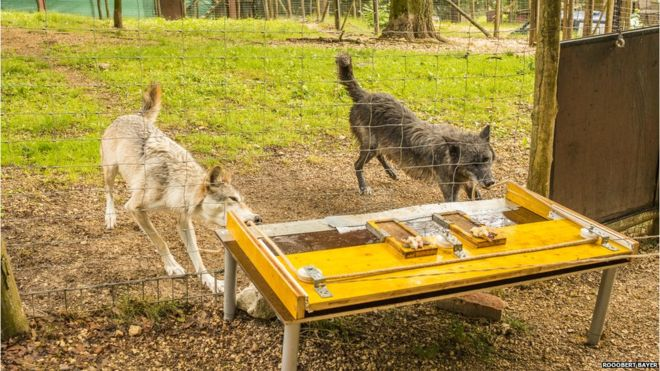 Wolves more likely than dogs to cooperate with each other, study suggests #wolves #dogbehavior  http:// ow.ly/zQUO30fWtwU  &nbsp;  <br>http://pic.twitter.com/bPFhaT6kE5