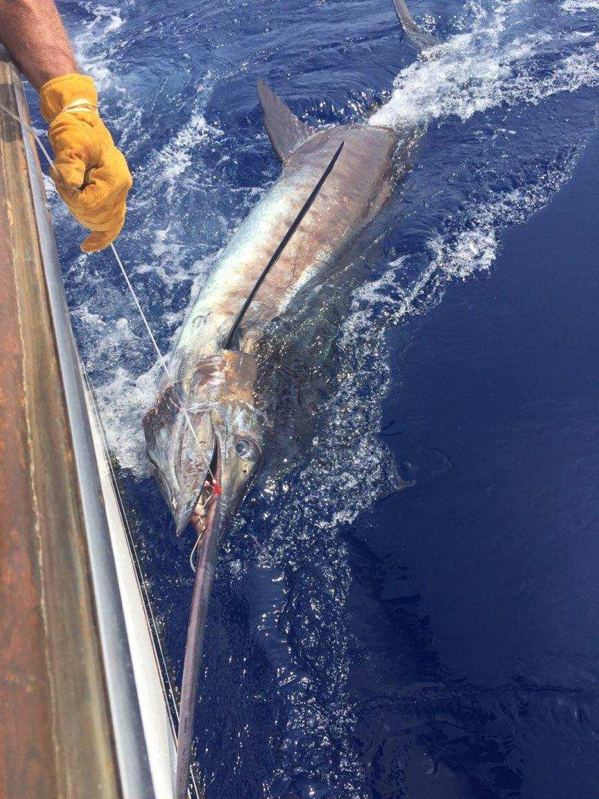 Kona, HI - Capt. Lance Gelman on Medusa released a Blue Marlin (700).
