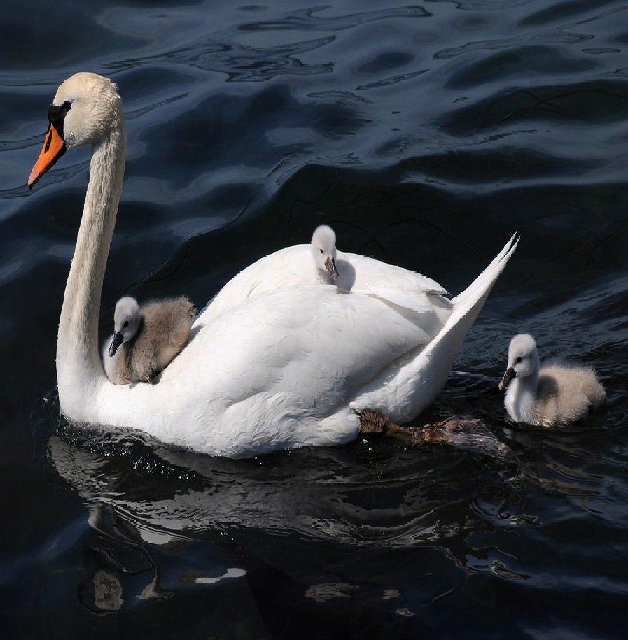 Baby swan&#39;s (Cygnets) #painting #art<br>http://pic.twitter.com/0uIRUR6HKK