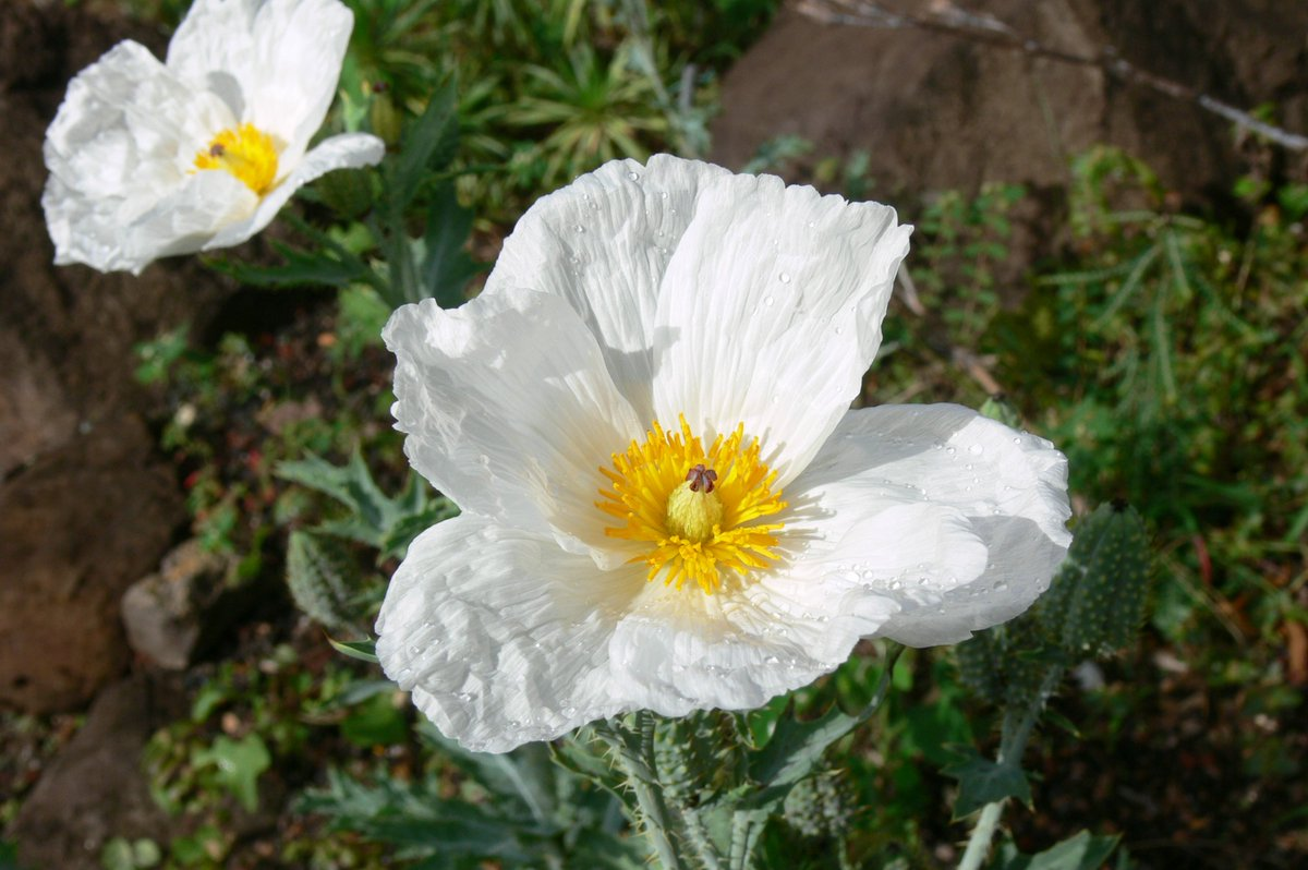 Save Plants On Twitter This Is Pua Kala Argemone Glauca A