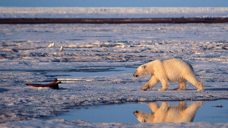 drilling arctic national wildlife refuge essay Opponents to drilling in arctic national wildlife refuge  (ranked search) you may also sort these by color rating or essay length.