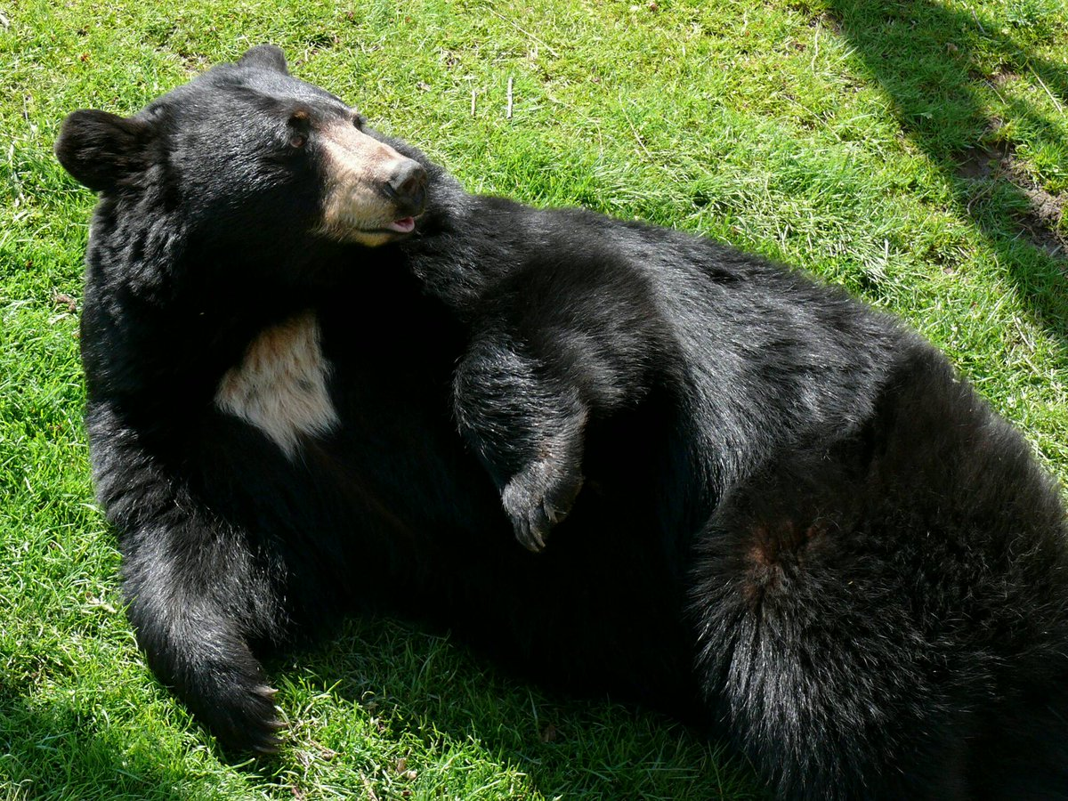 Nearly 1,000 American black #bears have been killed for #sport in #Maryland:  http://www. onegreenplanet.org/news/american- black-bears-killed-for-sport/ &nbsp; … <br>http://pic.twitter.com/S04kvqfdjk
