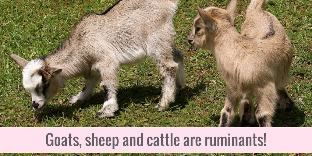 Sure, #goats are cute, but can you name the four compartments of a ruminant&#39;s stomach? #CAO17   http:// bit.ly/2gsYads  &nbsp;  <br>http://pic.twitter.com/mASTgUBCWH