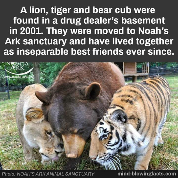 #Lion #Tiger &amp; #Bears Oh My #AnimalRights #AnimalLovers #cutenessOVERLOAD #Adorable #WizardOfOz #FriendGoals<br>http://pic.twitter.com/XRDKMVeC6s