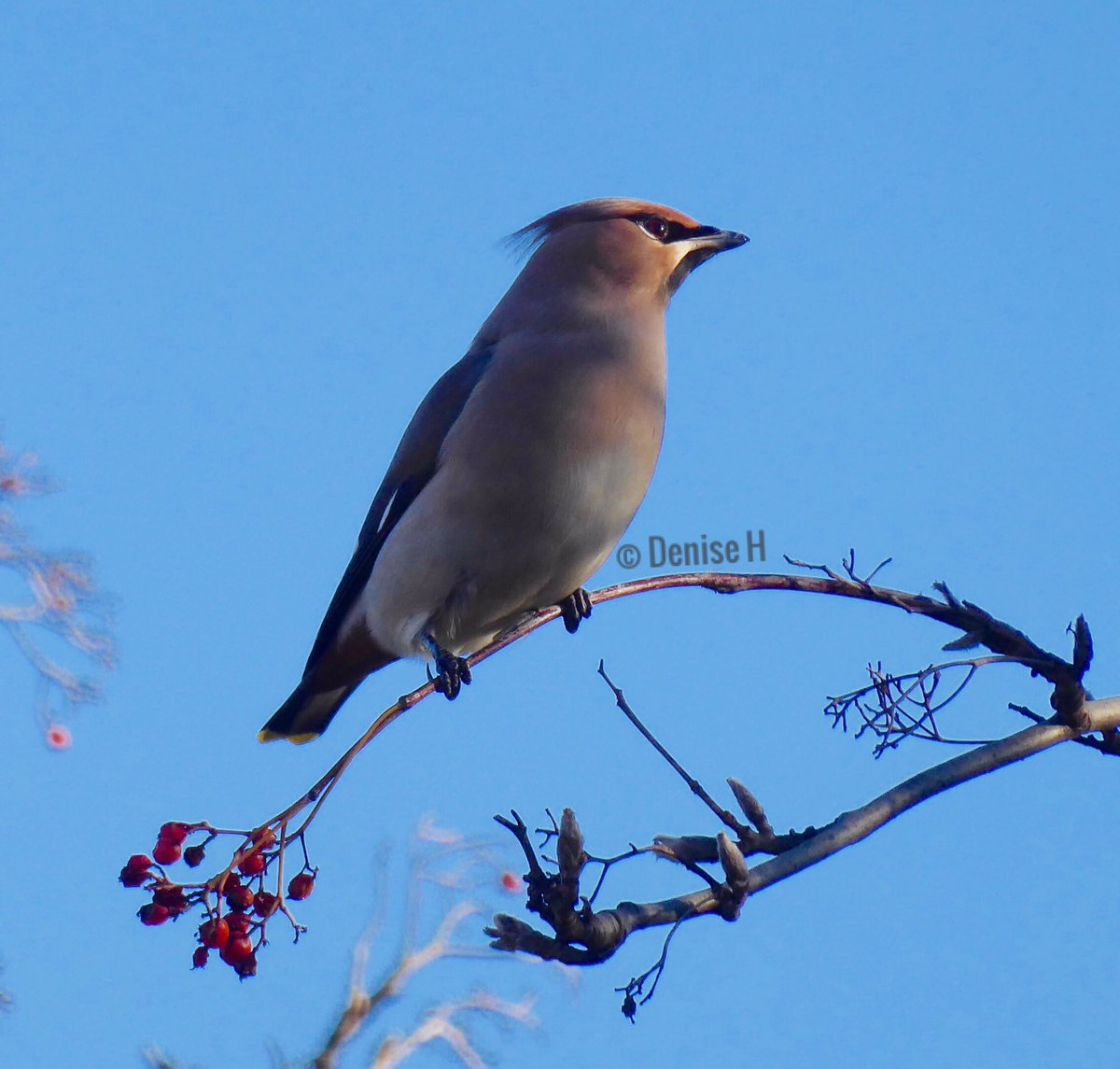 Morning! #HappyThursday. A #waxwing from earlier this year. @Natures_Voice @BBCEarth @BirdWatchingMag @wildlife_uk @wildlife_birds<br>http://pic.twitter.com/lagQkJ0GzM