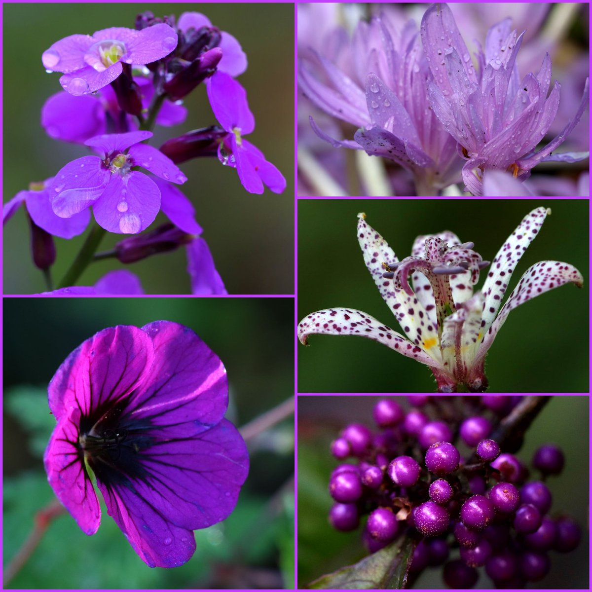 A little #autumnal #purpleiciousness for a very rainy #October day #purpleflowers #collage  <br>http://pic.twitter.com/isVbNa1mKC