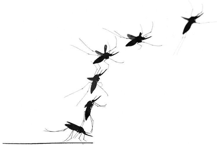 A mosquito's secret weapon: a light touch and strong wings https://t.co/j3AOUeGUBO https://t.co/FDrNvLTTZ2