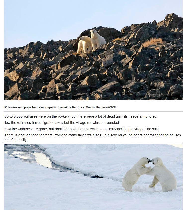 Fat #polarbear update: new &quot;normal&quot; when there are lots of bears and lots of walrus onshore in early fall  http:// siberiantimes.com/ecology/others /news/village-besieged-by-polar-bears-as-hundreds-of-terrorised-walruses-fall-38-metres-to-their-deaths/ &nbsp; … <br>http://pic.twitter.com/FN0Z0iOl7O