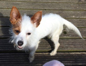 #Lost #ScanMe Jack Russell Cross Male Holme Wood #Bradford #WestYorkshire #BD4  #BD1 #BD3 #BD5 #BD7  http://www. doglost.co.uk/dog-blog.php?d ogId=121057#.WejhA7pnesQ.twitter &nbsp; … <br>http://pic.twitter.com/hgSya2P7a2