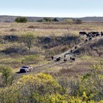 We are bringing in the bison on Konza; they are a big part of the @KonzaLTER experiments!
