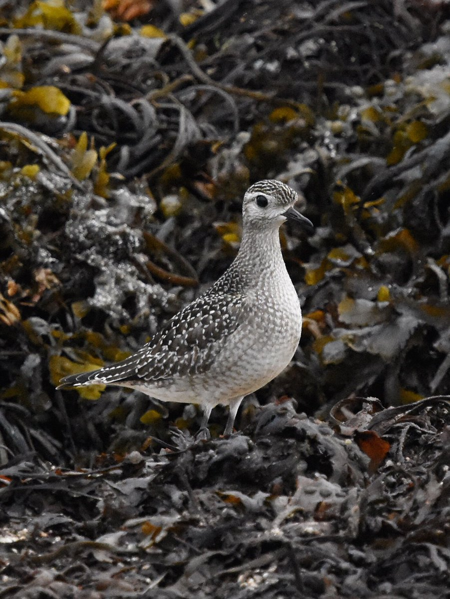 American Golden Plover In the rain at Porth Hellick #IOS <br>http://pic.twitter.com/n6gLdSx1aA