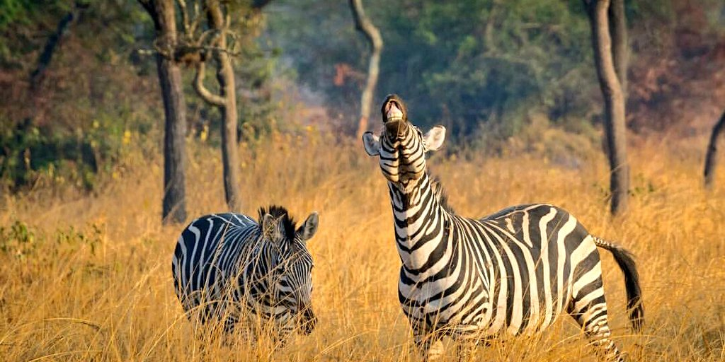 #FridayFeeling : I do believe it&#39;s time for another #adventure . #VisitUganda LakeMburoNP for the laughing #zebra IG:ralfbeckerphotography<br>http://pic.twitter.com/Nys7UBjcC3