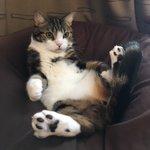 人をダメにするソファーで猫が猫を辞めてるので、「しっかりしろ種族を忘れるな」と叱ったところ反省したのか体育座り風に変わった。