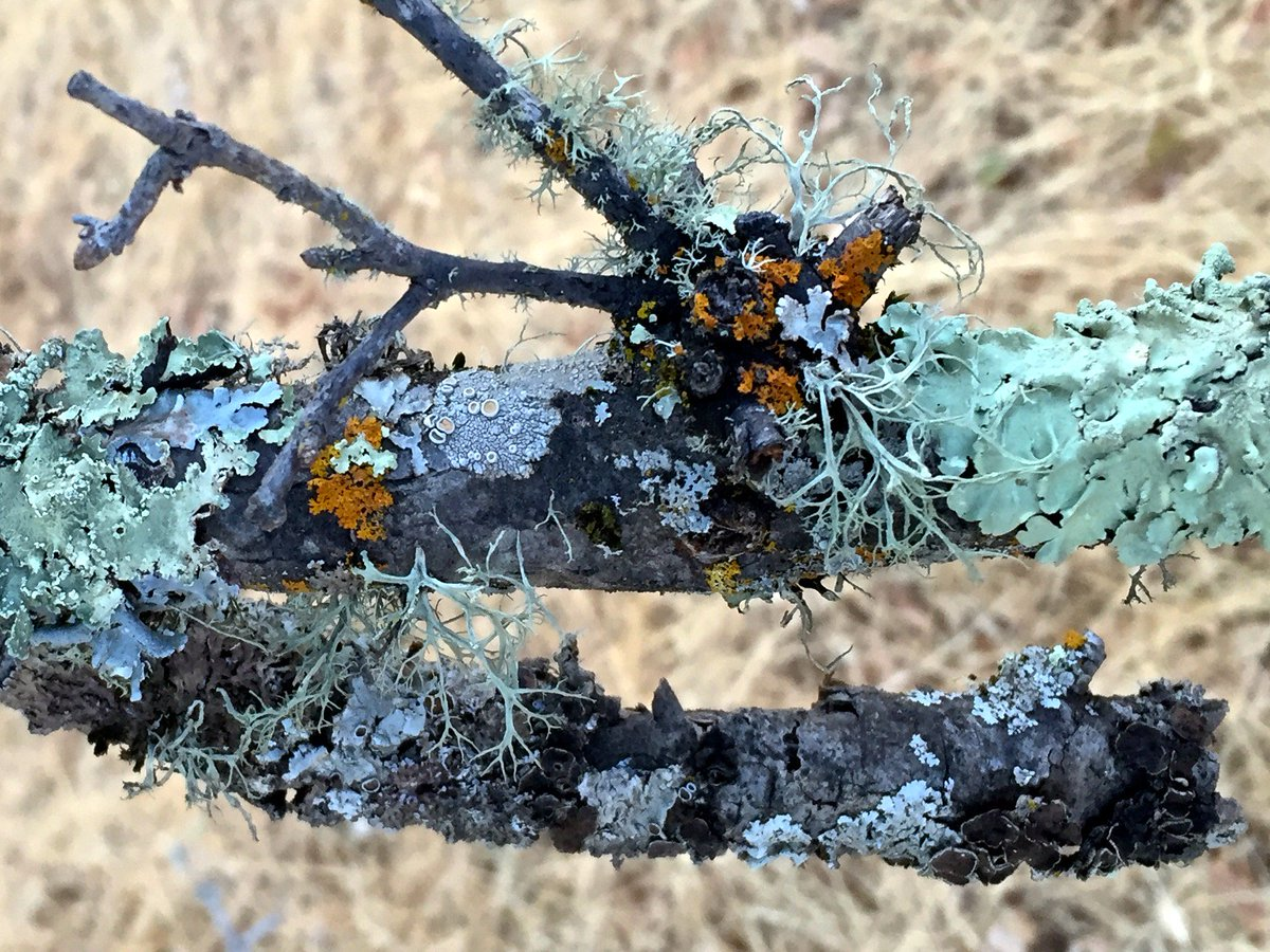 Great to see that @realscientists followers love lichens so much! For ppl in the Bay Area, I'll be teaching a intro to lichen ID workshop at the Jepson Herbarium in Berkeley February 23-25. Will be officially announced in December. Hope you can join us!!!
