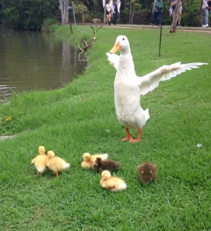 Everyone is in a flap about #UQ&#39;s wonderful mother duck and her brood of yellow and brown ducklings. <br>http://pic.twitter.com/5mJOUy66uU