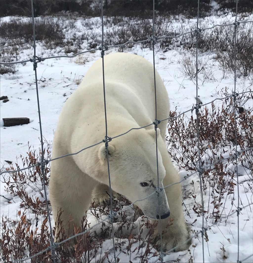 He&#39;s baacckk! Scarbrow at #DymondLakeEcolodge today. 8th year! He&#39;s outside the fence. We&#39;re inside :)   https://www. churchillwild.com/adventures/gre at-ice-bear-adventure/ &nbsp; …  #polarbear <br>http://pic.twitter.com/QQh0efeIom