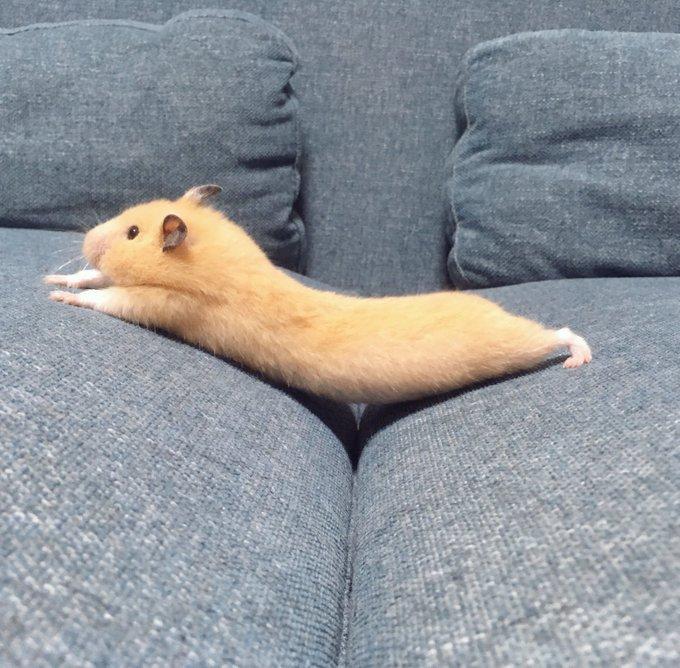 ソファで反り返るハムスターがかわいい