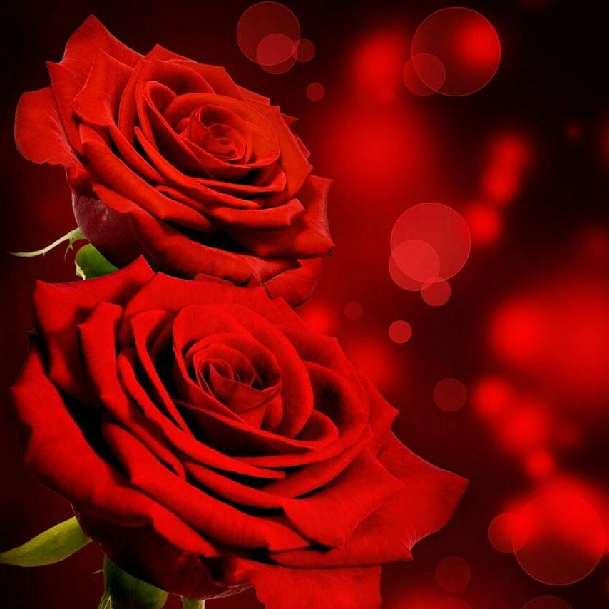 Download 540 Gambar Bunga Mawar Yg Indah HD Terbaru