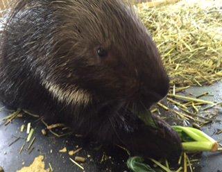 先日、世界まる見えに出演したヤマアラシのニノ♡ 餌を食べる時の可愛い様子をご覧く...