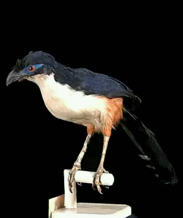 Delalande&#39;s coua was last recorded in #Madagascar 186years ago. Introduced cats, habitat loss &amp; #hunting are thought behind #extinction<br>http://pic.twitter.com/nvRb2muaSW