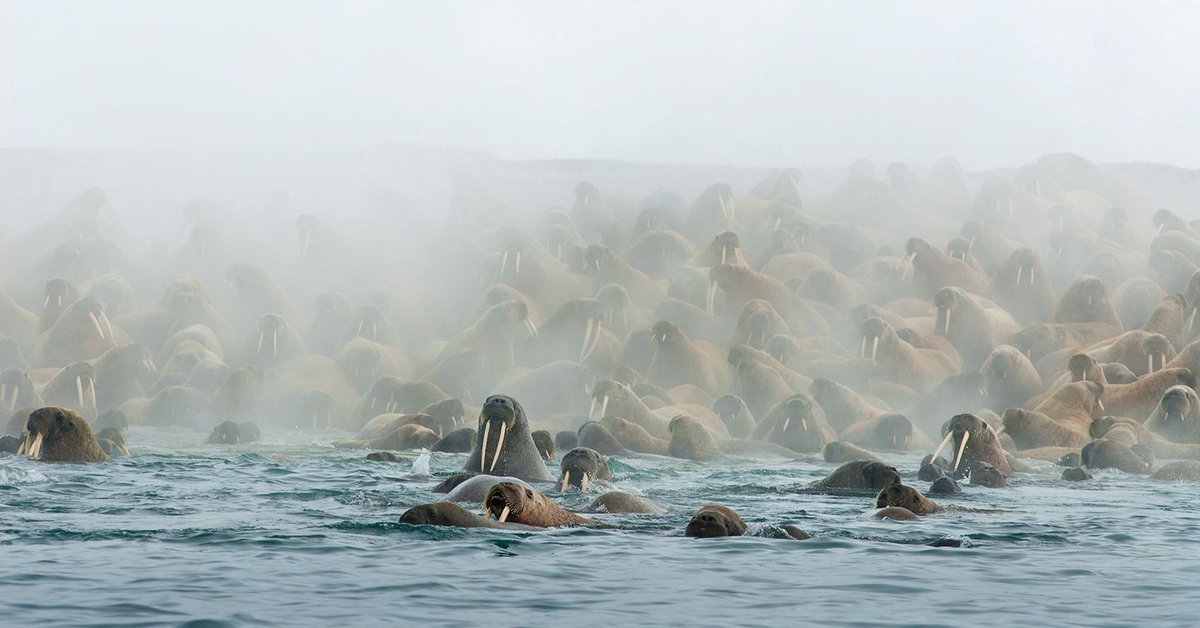Get inside the world of the walrus on the BBC's Blue Planet II https://t.co/IhYKo3TjzT @BBCEarth