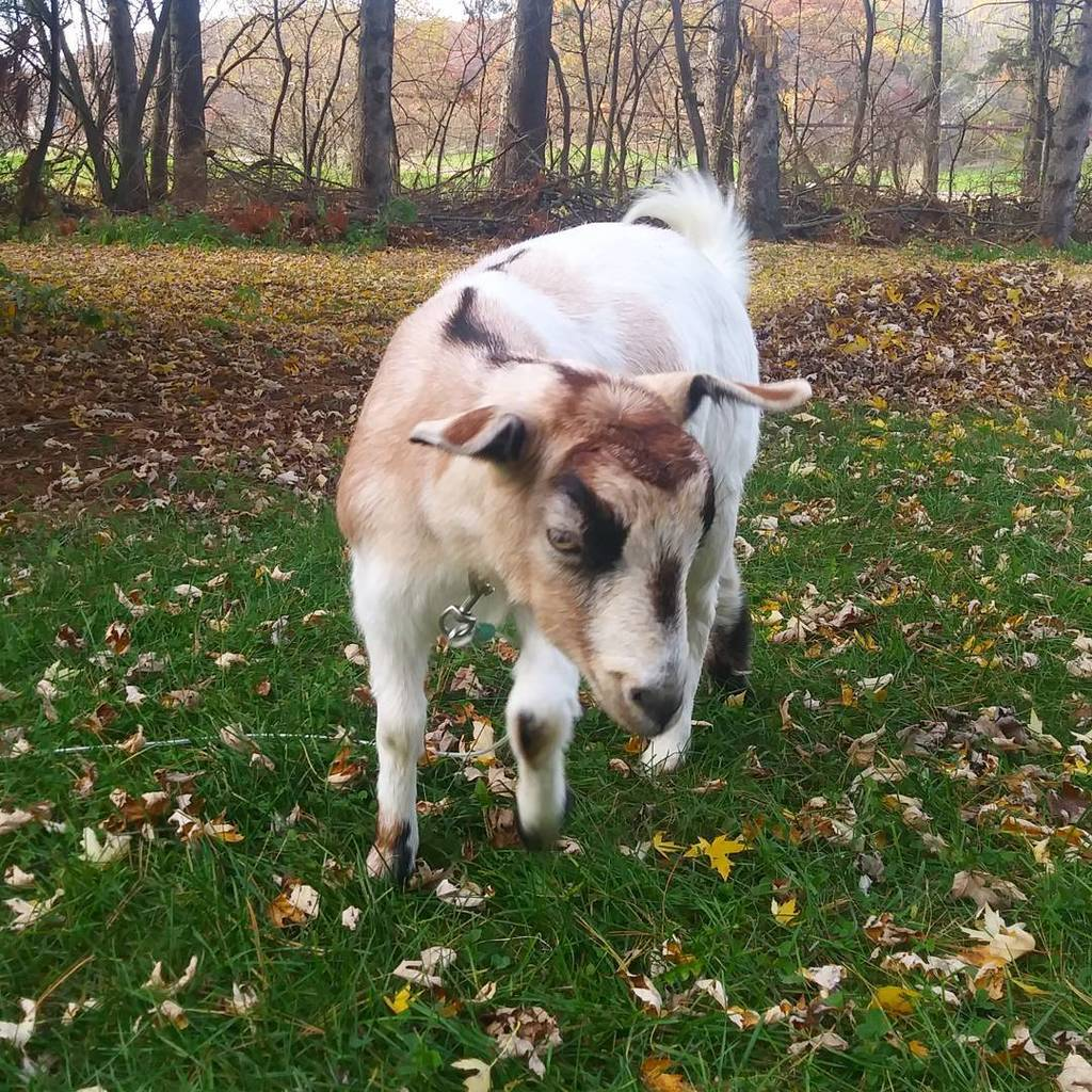 Breaking News! Local Goat Declares All Leaves Will Be Eaten by Winter - &quot;I can eat a lot of leaves,&quot; claims #Vince…  http:// ift.tt/2gTCcNA  &nbsp;  <br>http://pic.twitter.com/iLkIhZNHgA
