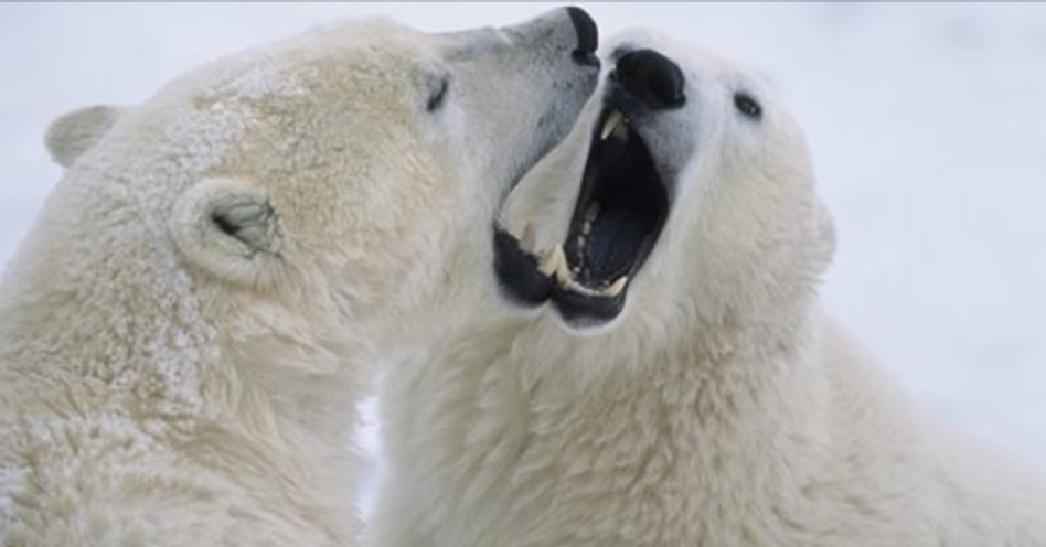 When one #polarbear moves downwind of a dominant bear, it signifies submission. More about their &quot;language&quot; here!  http:// bit.ly/2v7b32m  &nbsp;  <br>http://pic.twitter.com/pF40KBOuUA