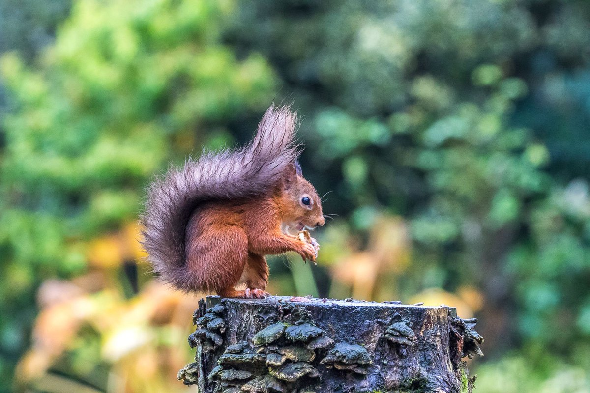 Meaning of white squirrel sighting - More Red Squirrel Action From Today Redsquirrelsnepic Twitter Com Taaqz0cfcn