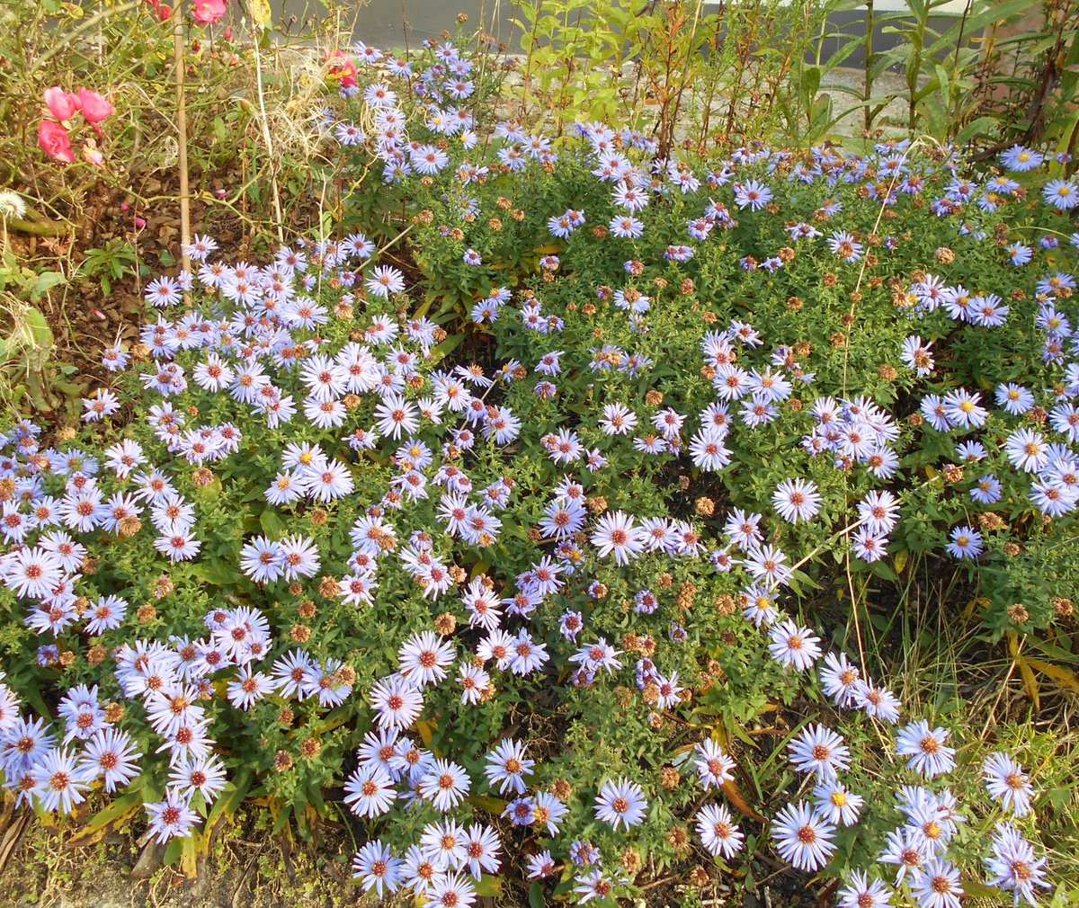 Asters#autumn#hamburg today #bees#asters in the autumn<br>http://pic.twitter.com/h5EGcJfHJk