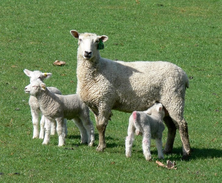 Seeing double? Triple? #Sheep &amp; #goats are seasonal breeders &amp; can have typically have twins &amp; even triplets! #CAO17 <br>http://pic.twitter.com/vNbJepHGfO