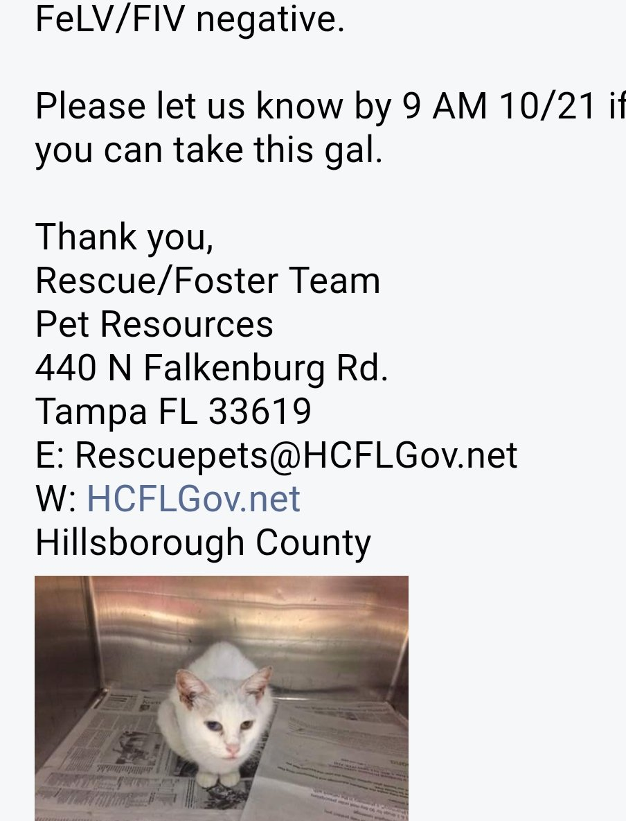 Need adopter/foster by 9am Saturday October 21 scheduled to be euthanized Sweet Khao Manee odd-eye #cat #Tampa #Florida Email in pic<br>http://pic.twitter.com/0KWgfSWZgW